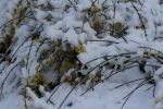 snow and forsythia